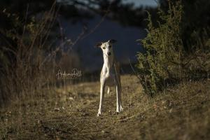 Fotoshooting Whippet